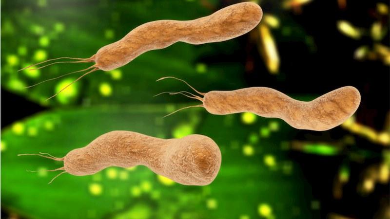 Vi khuẩn HP là loại vi khuẩn có thể tồn tại lâu trong môi trường axit dạ dày