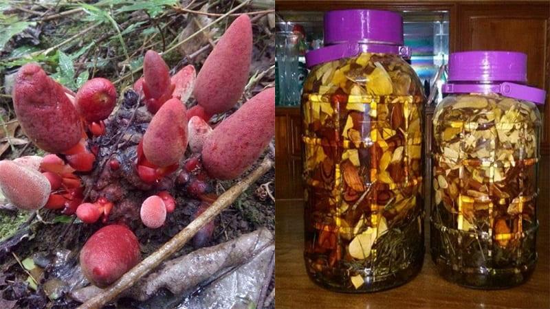 Bài thuốc từ nấm ngọc cẩu