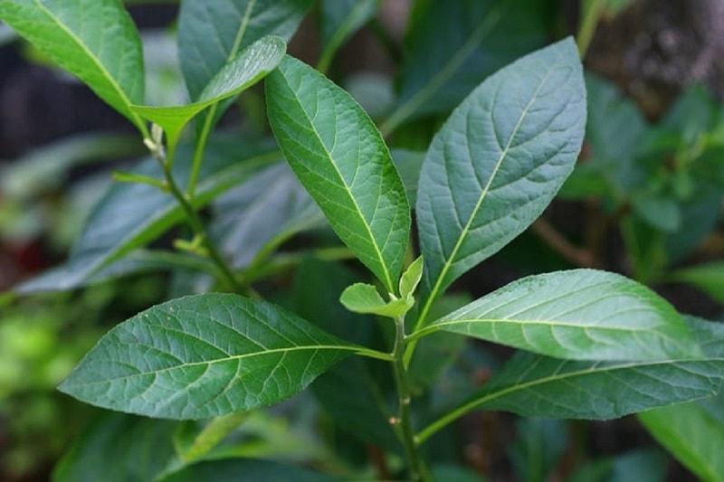 Sắc thuốc với vỏ cây lá đắng