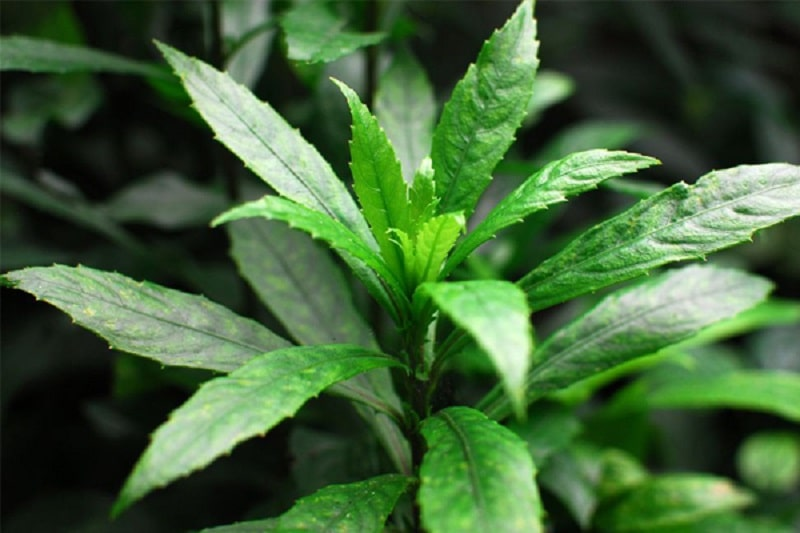 Lá xương sông cũng là vị thuốc được áp dụng nhiều để điều trị các bệnh lý về đường hô hấp