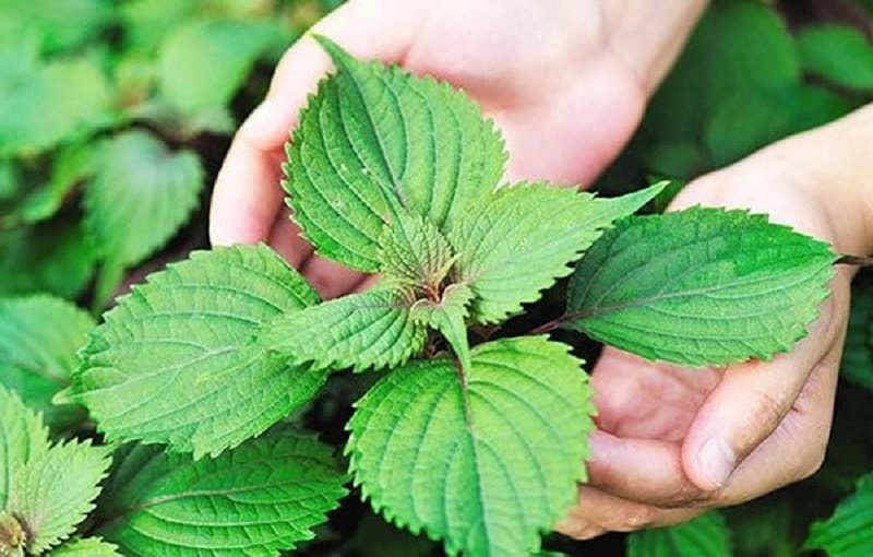 Lá tía tô chứa nhiều hoạt chất có tác dụng chữa viêm amidan tốt