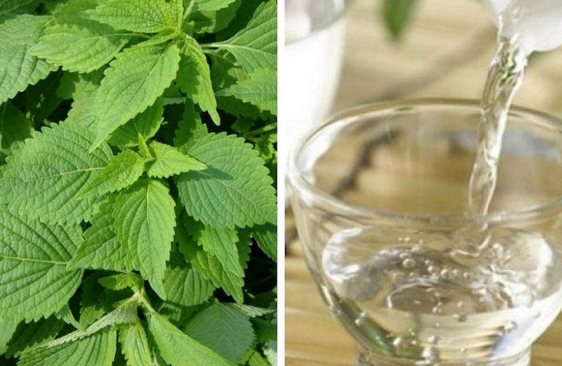 Nước lá tía tô giúp đẩy lùi bệnh tật hiệu quả