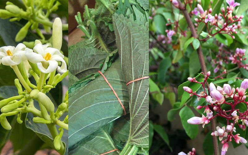 Có thể kết hợp lá tía tô, hoa khế và hoa đu đủ đực để chữa viêm amidan ở trẻ em
