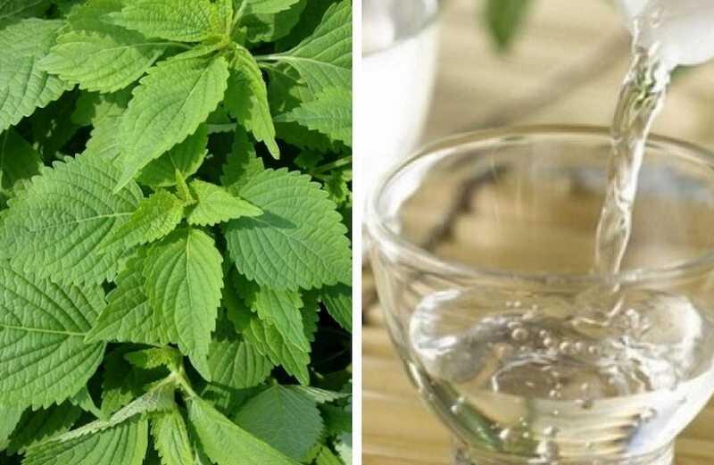 Kết hợp rượu trắng với kinh giới để cải thiện triệu chứng mẩn ngứa mày đay