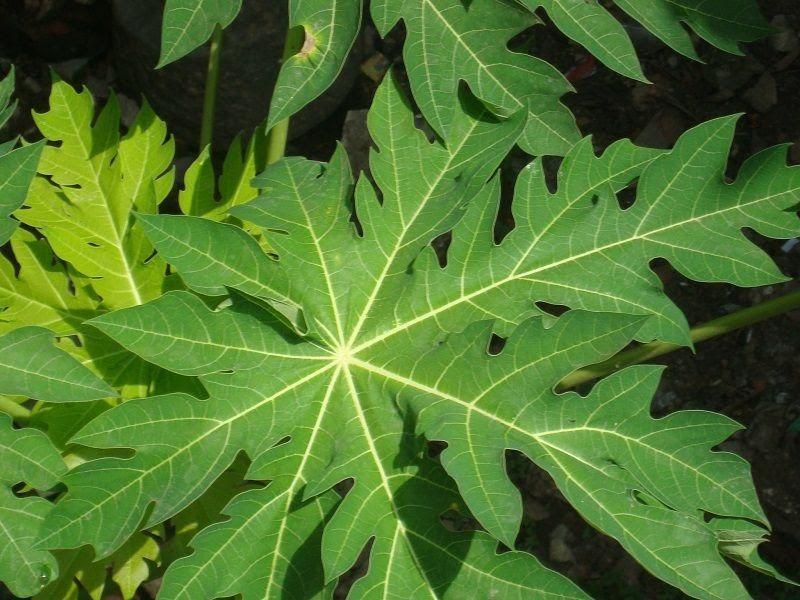 Chữa viêm da cơ địa bằng lá đu đủ là cách áp dụng rất phổ biến cho người bệnh hiện nay