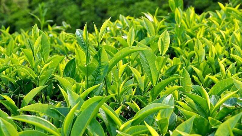 Mẹo dùng trà xanh chữa nổi mẩn ngứa khắp người