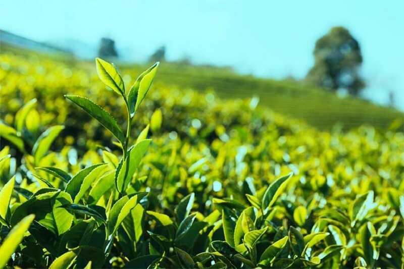 Trà xanh có nhiều hoạt chất giảm nhanh các triệu chứng của bệnh mày đay