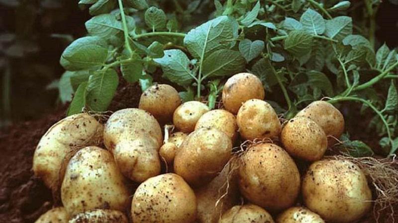 Mặt nạ khoai tây từ lâu đã được chị em biết đến với tác dụng tẩy da chết và làm sáng da