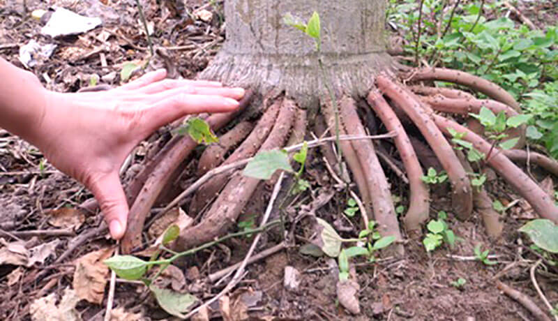 Tác dụng của rễ cau đối với sức khỏe sinh lực nam giới là gì?