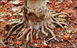 rễ cau