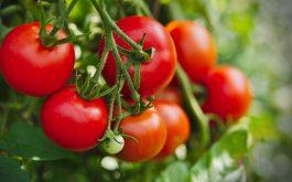 Ăn cà chua là một trong những cách tăng cường chức năng sinh lý hiệu quả