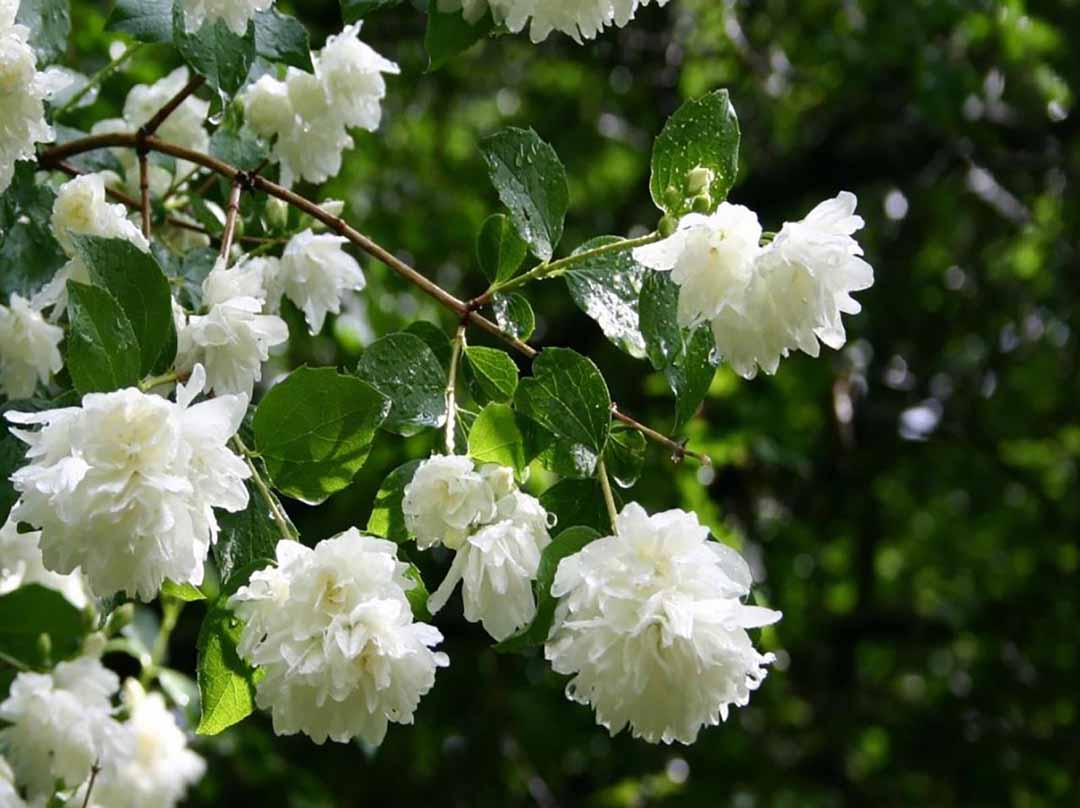 Trà hoa nhài giúp thanh tịnh, thư giãn và dễ đi vào giấc ngủ